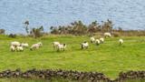 A Flock ofSheep in Ireland