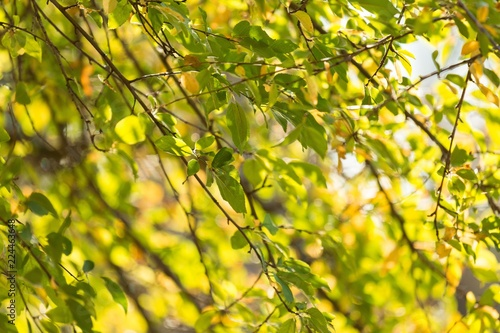 Autumn Birch Leaves on the Branches - 224463648