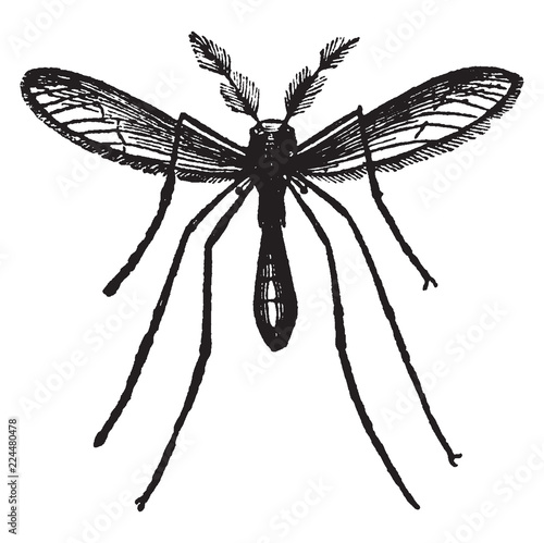 The Gnat, vintage illustration. - 224480478