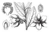 Annona vintage illustration. - 224481277