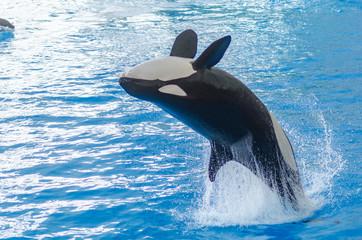 a jumping orca in a blue sea © alexanderbaumann
