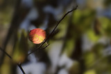 first red autumn leaf in the dark forest, seasonal nature background with copy space - 224565215