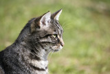 tabby cat portrait in profile against a green background, copy space - 224566060