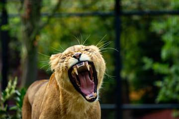Löwe offenes Maul