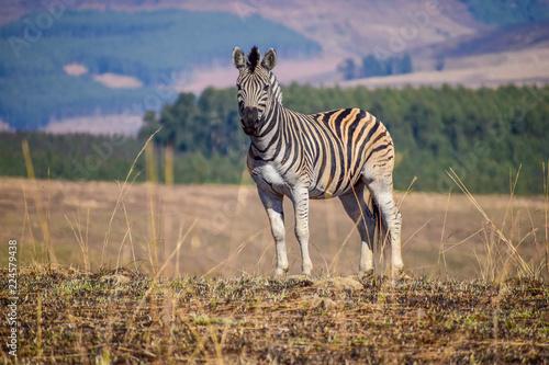 Zebra in South Africa - 224579438