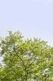 Akazie Akazien Acacia Acacieae Robinie Baum Himmel - 224609612