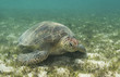 Sea turtle rests of grassy bottom