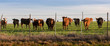 Cattle at Sunset in Mexia Texas