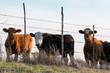 Three Cows Mexia Texas