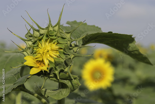 Sunflower bud with additional blooms showing in the background