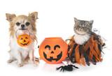 puppy, kitten and hallowen - 224675884