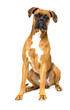 dog boxer breeds on white background