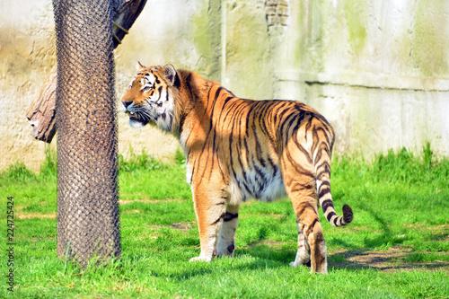Fototapeta una tigre marca il suo territorio