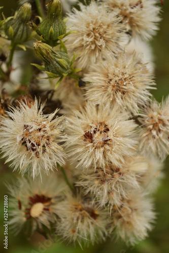 wild dandelion - 224728860