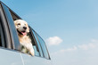 adorable golden retriever dog looking out car window in front of blue sky