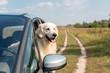 cute golden retriever dog looking out car window in field