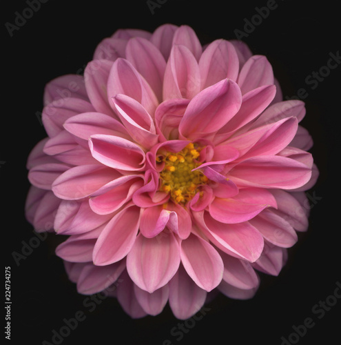 Pink dahlia on black background