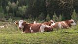 Junge Kühe liegen auf der Weide