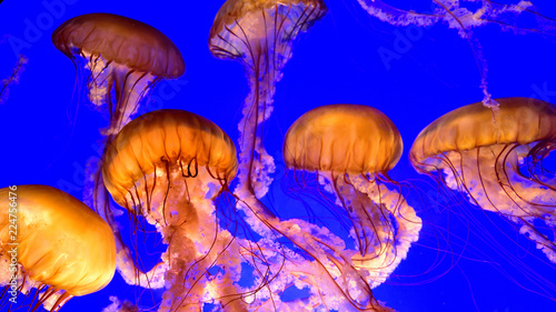 Leinwandbild Motiv Jelly fish floating - Pacific sea nettles (Chrysaora fuscescens)