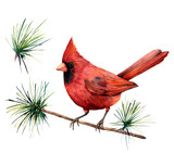 Watercolor bird red cardinal. Hand painted greeting card illustration with bird and branch isolated on white background. For design, print or background. - 224759091
