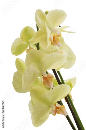 yellow orchid phalaenopsis close up - 224767671