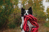 Border Collie Dog Lovely Autumn Portrait in Scarf