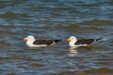 Two Pacific Gulls on Water