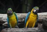 Macaw Pair