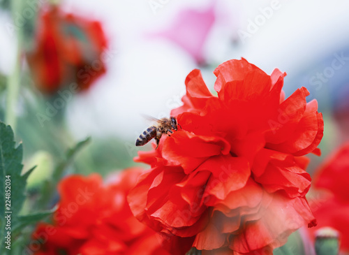 bee flies in the summer garden over a bright scarlet poppy flower collecting nectar - 224852034