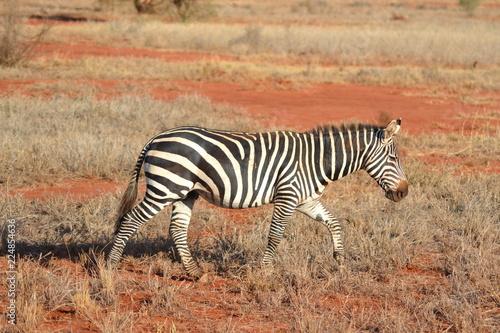 Zebra - 224854636
