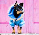 The terrier walks in a warm jacket