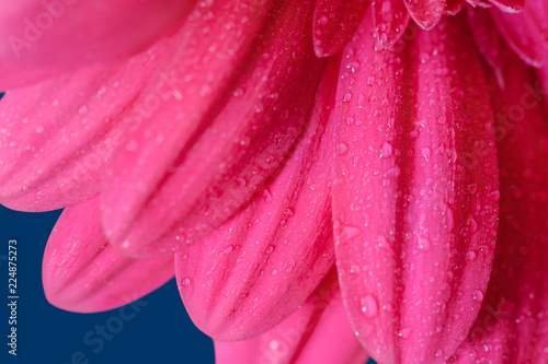 Pink gerbera on a blue background - 224875273