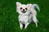 Dog breed Chihuahua
