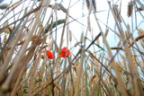 Bottom view of wheat cobs and poppies with sky view