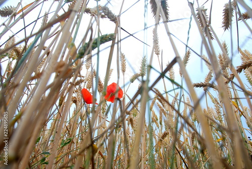Bottom view of wheat cobs and poppies with sky view - 224895635