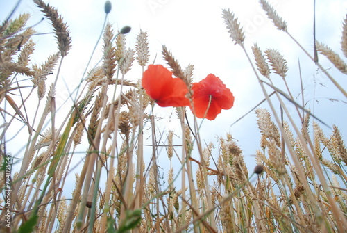 Bottom view of wheat cobs and poppies with sky view - 224895645