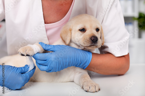 Cute labrador puppy dog lying patiently while getting a bandage on its paw © Ilike