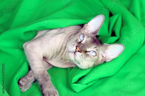 Leinwandbild Motiv Sphinx cat with beautiful blue eyes playing with green curtain, luxury concept