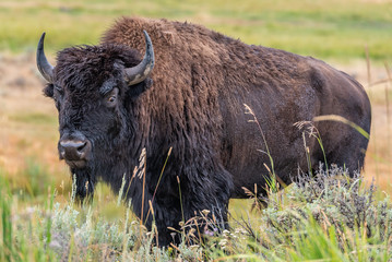 Yellowstone Park bison © Sergey