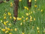 Tapis de tulipes sauvages ou tulipes des bois (Tulipa sylvestris) envahissantes dans un champ de vignes. - 224924076