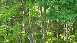 Leaves from small scrub trees in a forest moving in the wind. - 224942224
