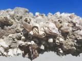 Living  barnacle on a tree near the sea. - 224943866