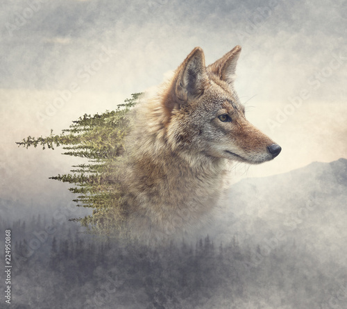 double-exposure-of-coyote-portrait-and-pine-forest