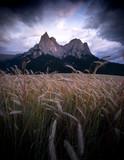 Kornfeld vor der Kulisse des Schlern in den Dolomiten - 224999806