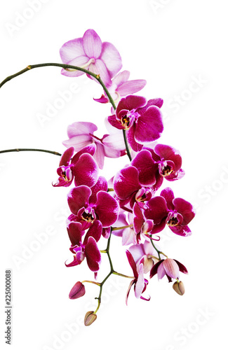 Dark red orchid flowers on white