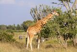 Giraffe eating vegetation on Kenyan savannah