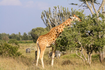 Giraffe eating vegetation on Kenyan savannah