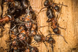 Red wood worker ants in spring building on their nest,  working together to build their society.