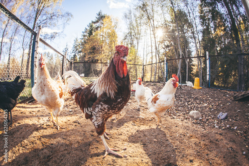 Chickens and roosters on the farm in the evening light - 225054255