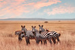 Wild African zebras in the Serengeti National Park. Wild life of Africa.